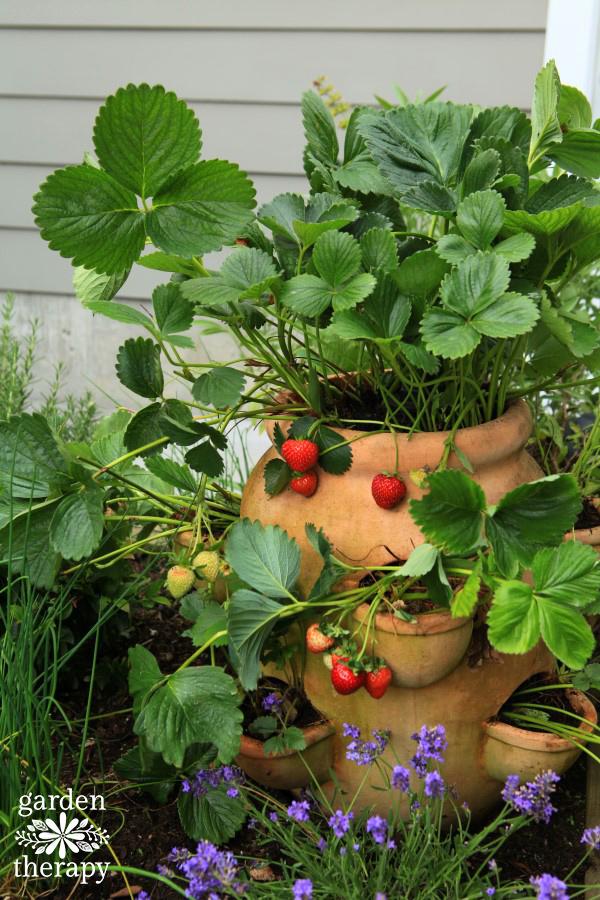 Strawberry Jar Irrigation DIY and Thumbelina Lavender