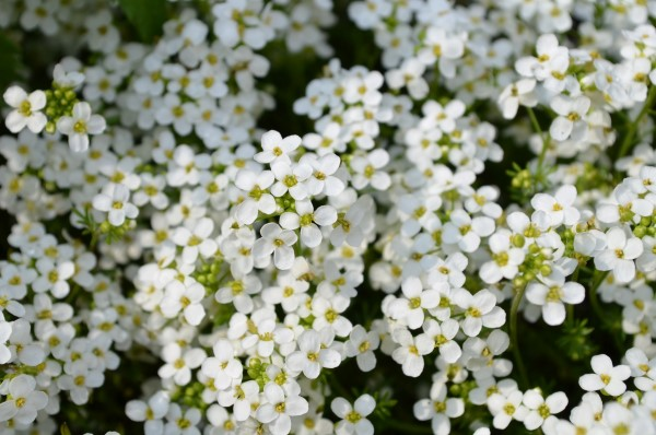 Fragrant Flowers List Sweet Alyssum