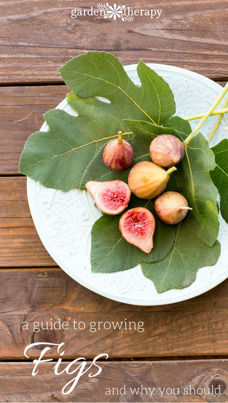 A great guide to growing figs in the home garden and why you should