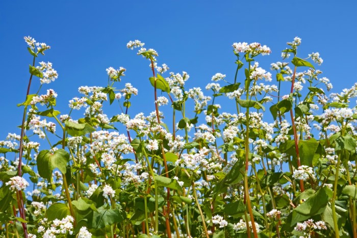 Buckwheat Green Manure Soil Amendment