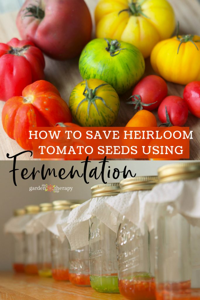 how to save heirloom tomato seeds through fermentation