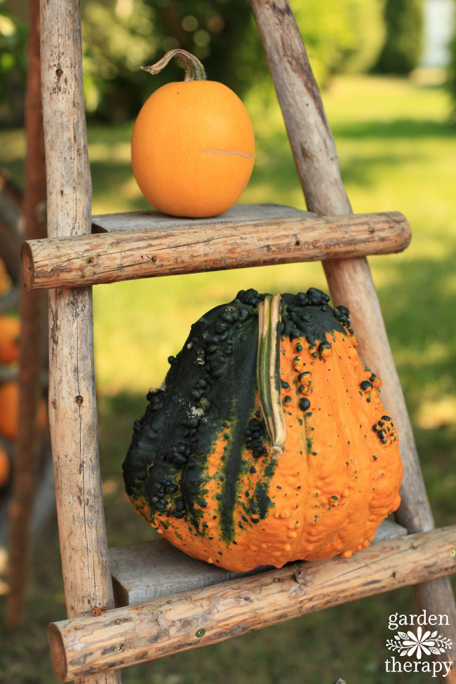 Squash and pumpkin on a ladder