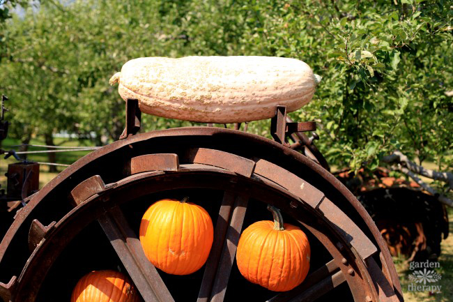 weird-pink-warty-squash-quirky-fall-decorating-with-pumpkins