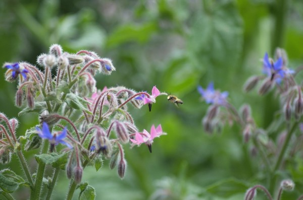 Bee and Borage - Bee gardening tips for teaching kids about bee culture