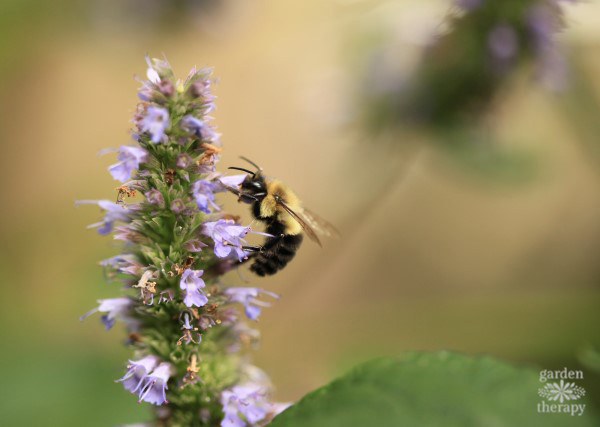 Bee On Agastache Blue Fortune