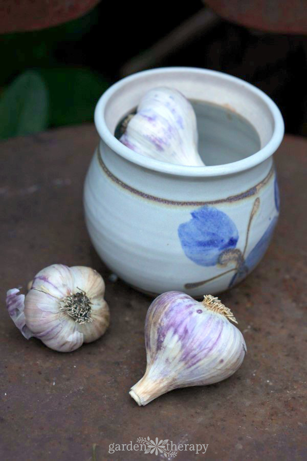 How to plant garlic outdoors in the fall garden. Garlic gets planted before the first frost of the year and overwinters in the garden.