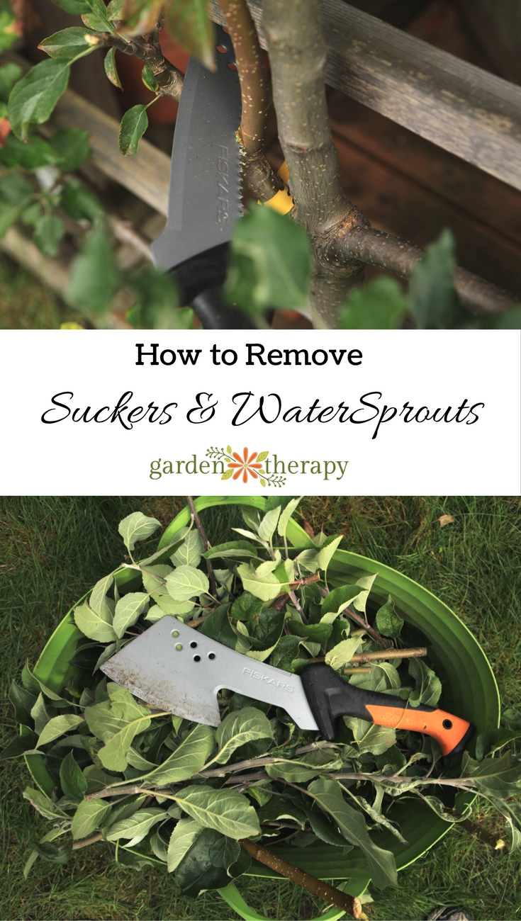 How to remove suckers and water sprouts from trees. How to remove and prevent the thin, upright branches growing from the base of the trunk or soil near the base of the tree.