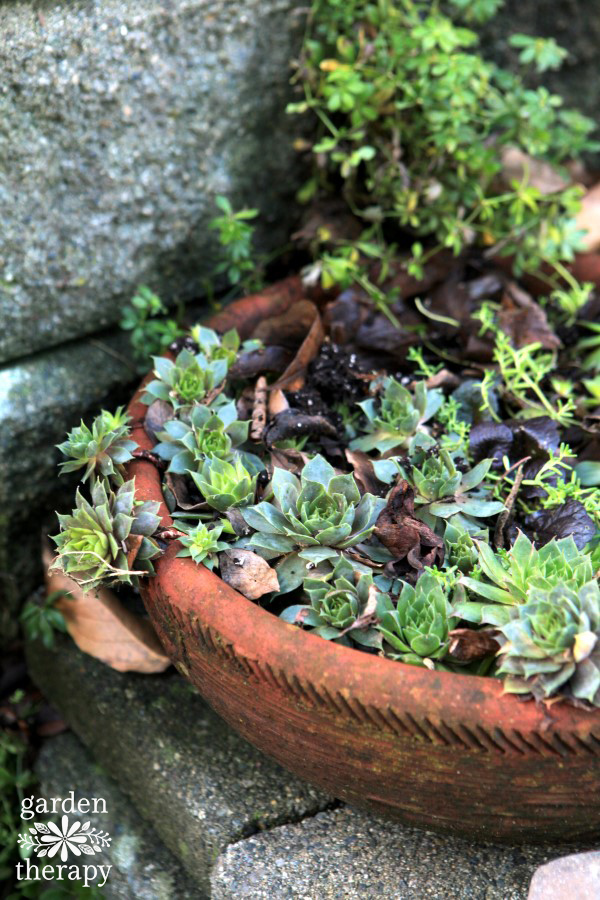 Hardy succulents in a pot outside in winter