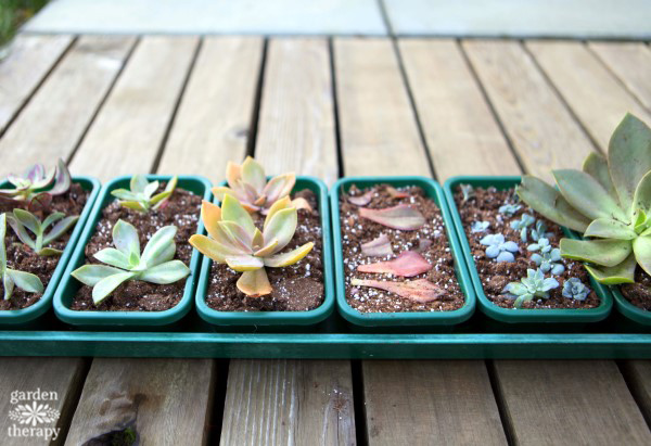 Replanting succulents in new soil