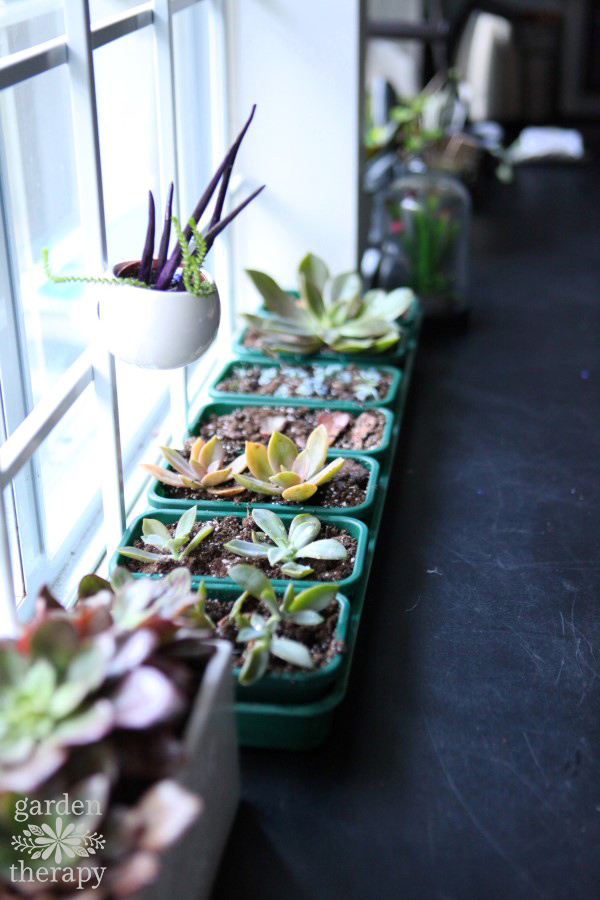 Succulents indoors in the winter time