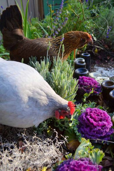 41 herbs for hens