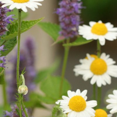 Grow an Herbal Tea Garden