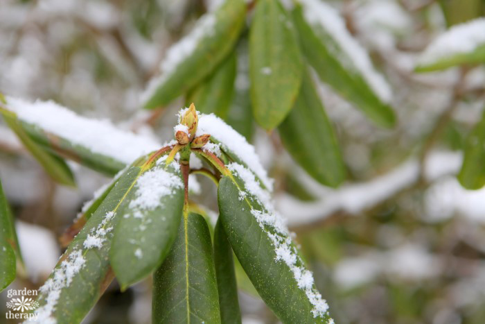 rhododendron bud in snow