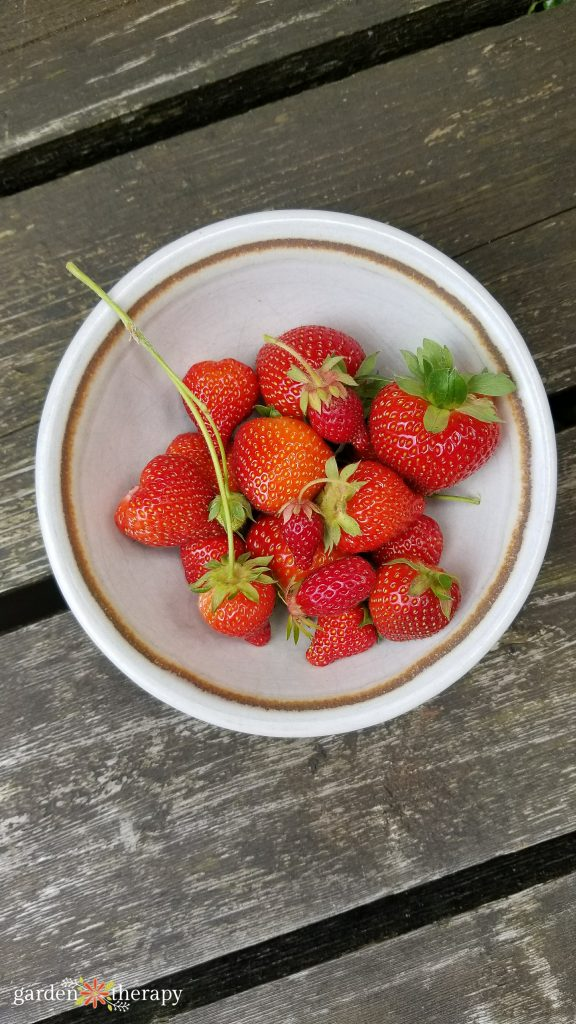 home grown strawberries in containers freshly picked in a bowl