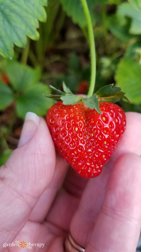 Woman holding a heart-shaped strawberry attached to a vine