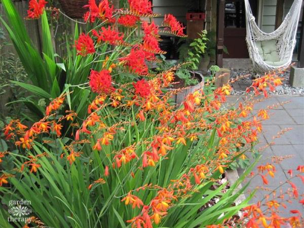 crocosmia in the garden