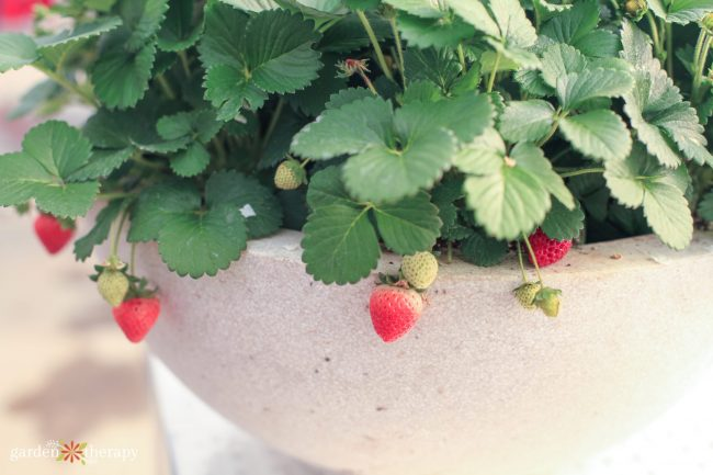 close up of strawberries growing out of a pot