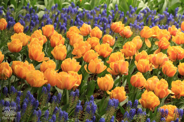 Spring Garden yellow tulips and grape hyacinth
