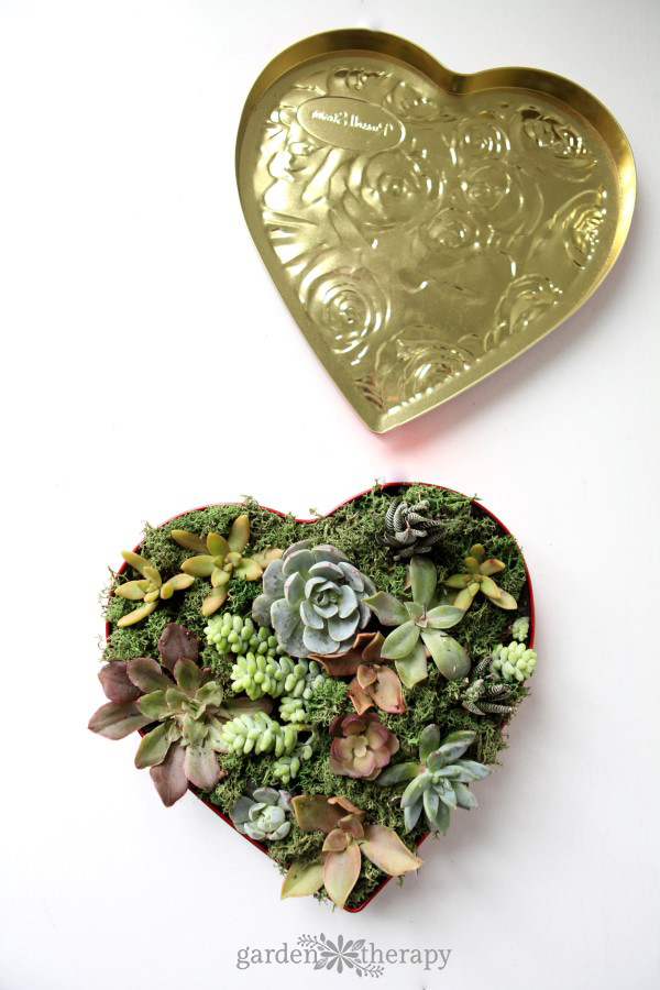 A sweet and sugar-free way to say I love you - make a succulent valentine