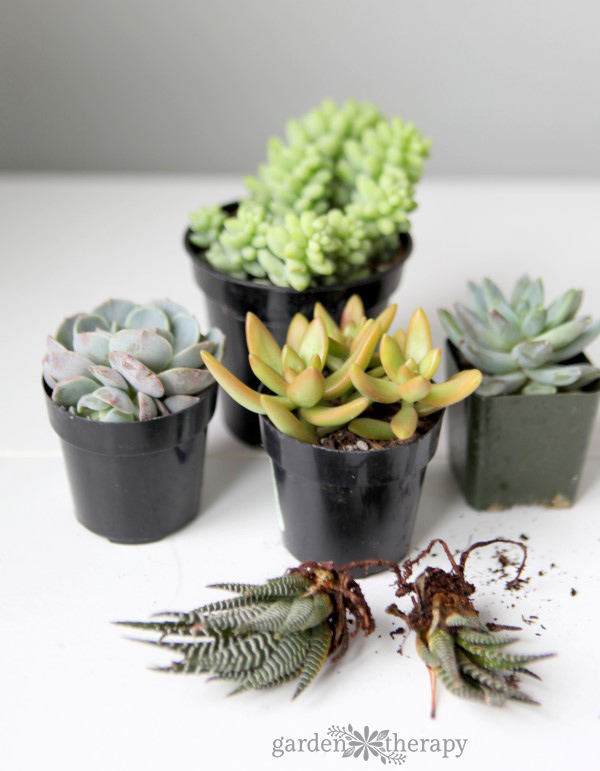 how to grow healthy succulents
