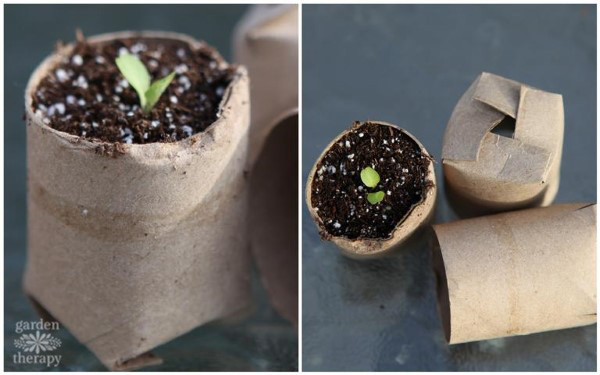 tissue paper roll used as a seed starter