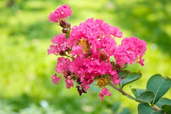 Crape Myrtle (Lagerstroemia indica) blooms in the garden.