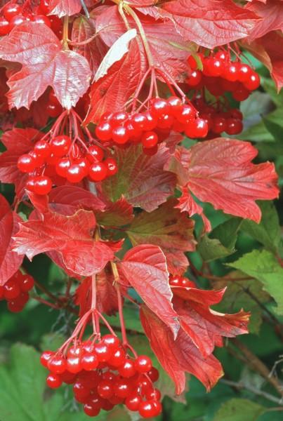 Fruiting Viburnum