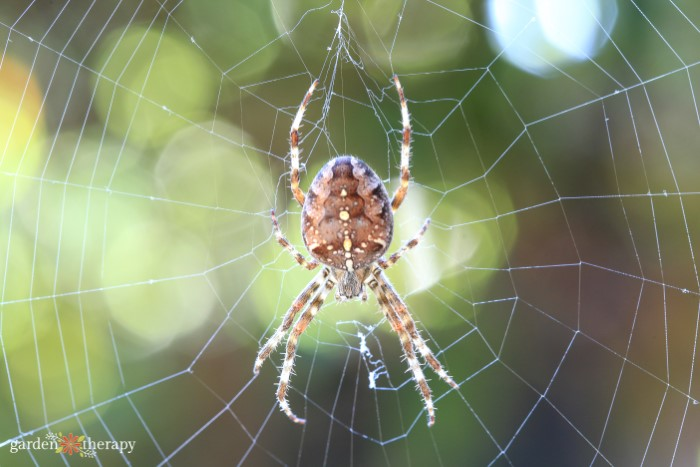 Close up of a garden spider in the center of a web.