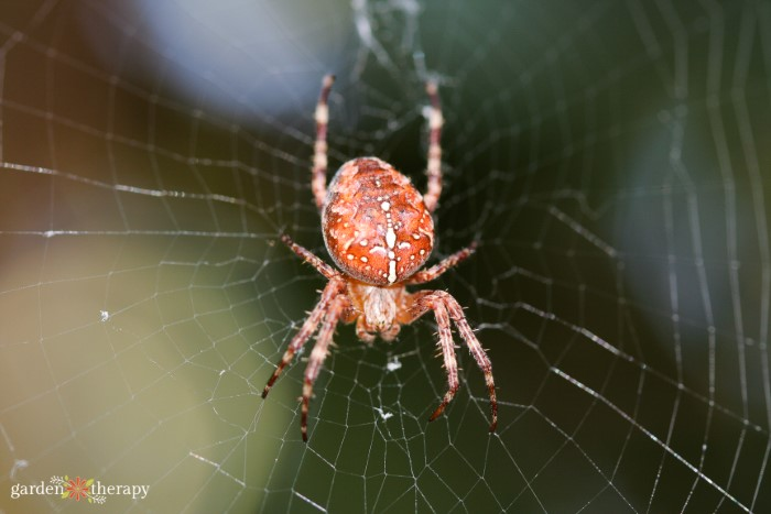 Orb weaver garden spider in the center of its web.