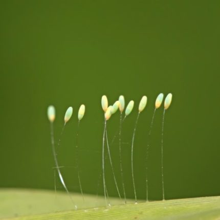 Close up of green lacewing eggs on a leaf