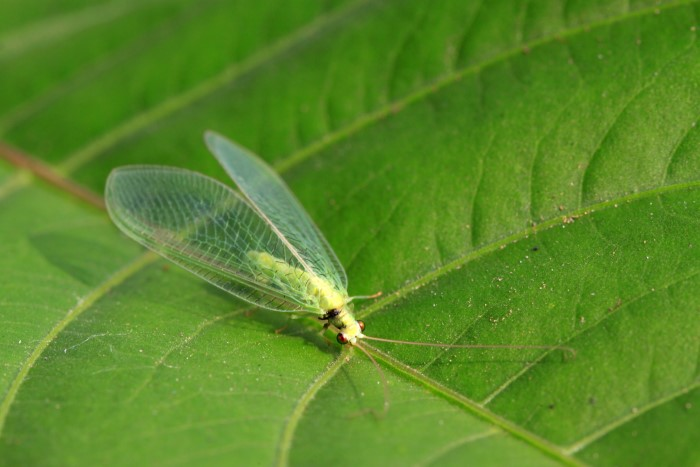 Green lacewing bug, one of several beneficial insects, resting on a green leaf.