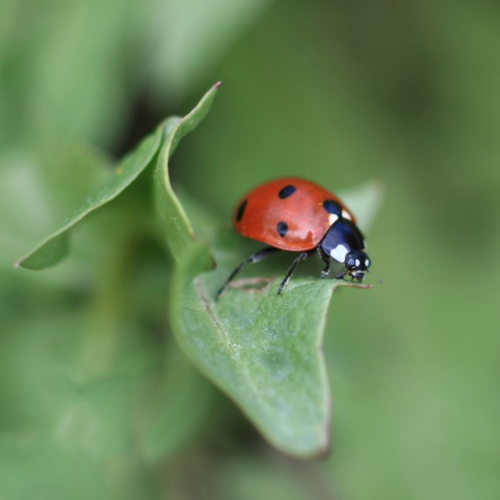 Close up of a ladybug with red exterior and black spots sitting on a leaf.