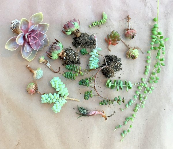 Succulents to plant in a wreath