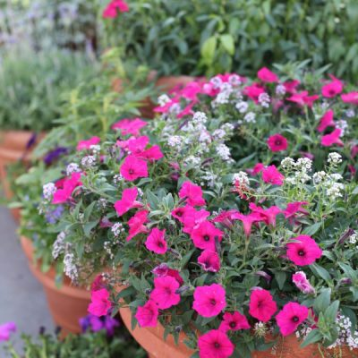 All About Container Gardening: The Steps to Grow Successful Container Gardens