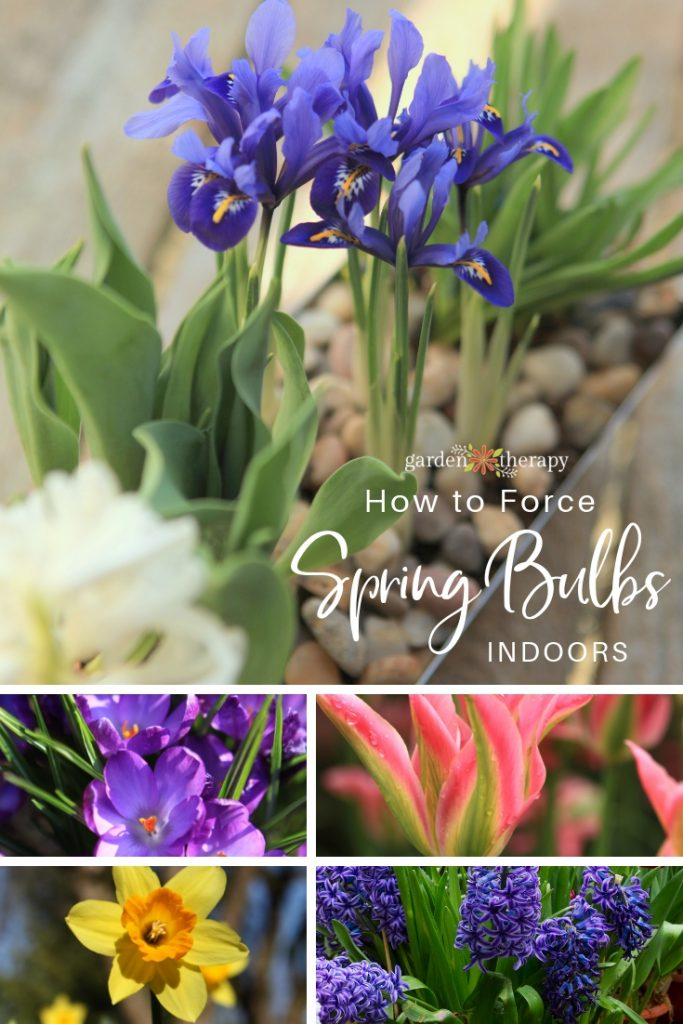 How to Force Spring Bulbs Indoors
