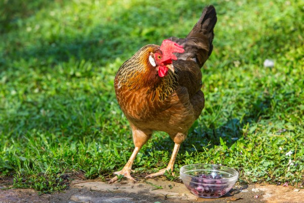 Chickens love kitchen scraps