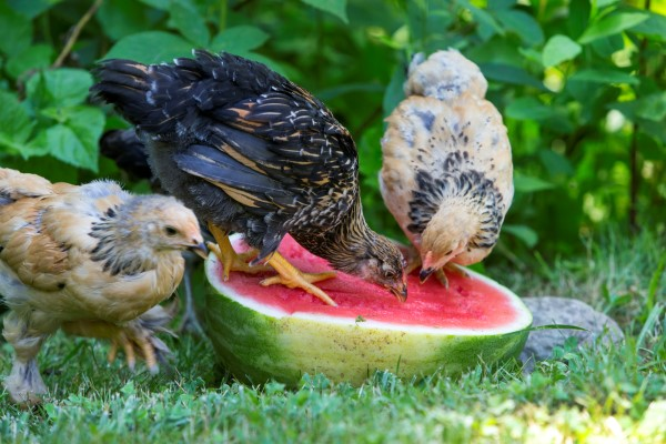 Watermelon: a treat for chickens