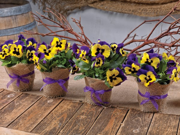 Pansy favors