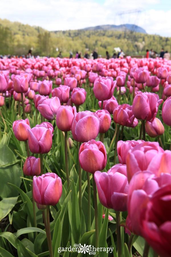 Tour a tulip festival