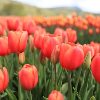 Tips to Tiptoe Your Way Through a Tulip Festival