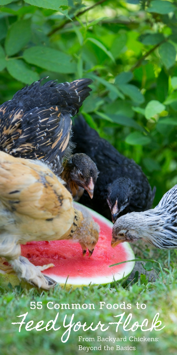 Feeding Hens Common Foods from Your Kitchen