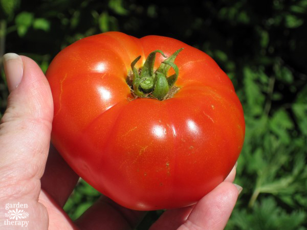 A homegrown Tasti-Lee tomato
