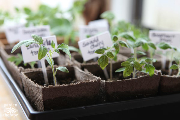 buy seedlings if you don't have time to start tomatoes from seed