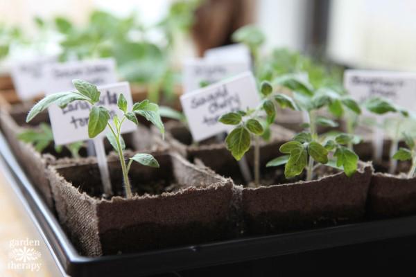 Tomato plant seedlings