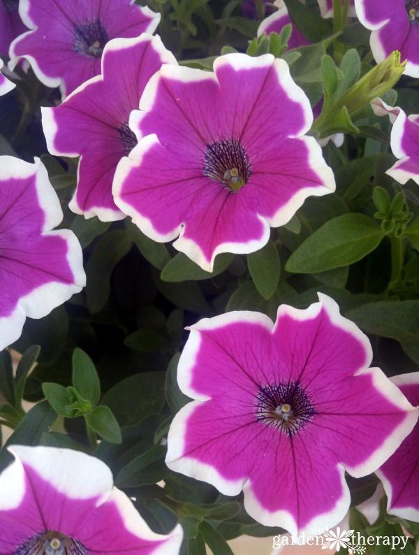 This list of Modern Petunia Varieties is amazing