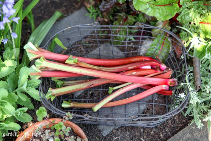 freshly harvested rhubarb in a wire basket