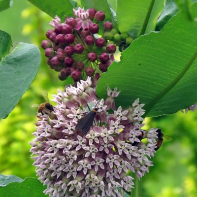 What's So Special About Milkweed?