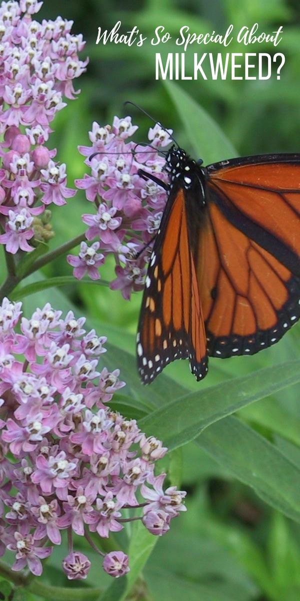 What's so special about milkweed, you ask?