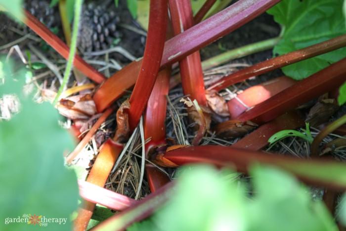 red rhubarb stalks for harvest