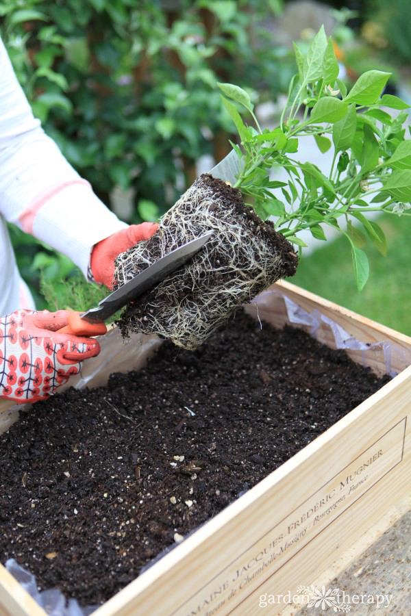 Dividing roots while potting